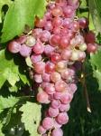 mogna-vindruvor